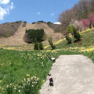 花見山スキー場のスイセン畑で