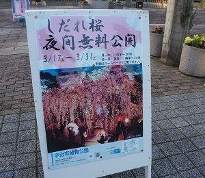 白猫夜桜一番隊!発進します(=^・^=