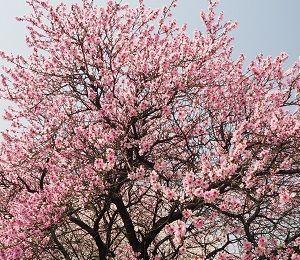 四季を走る 枝垂れ桜二番隊、発進よろし!