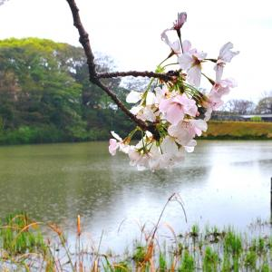 涙雨に濡れる桜