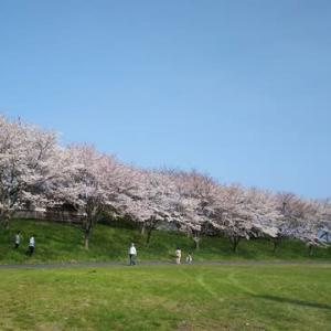 また桜ですが