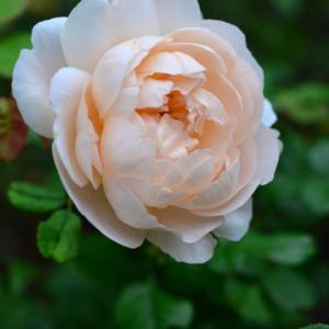 ちらほらと咲く薔薇など