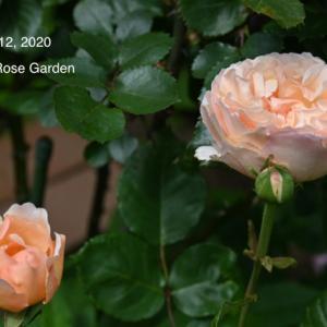 今年お迎えした薔薇 ー HT Princess Charlene de Monaco