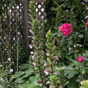 イングリッシュガーデンでは欠かせない大型の宿根草 ー Acanthus mollis