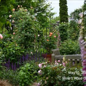 今年はこざっぱりと ー Salvia nemorosa <Caradonna>