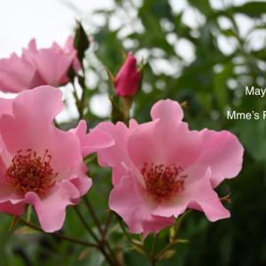 今春心ときめいた薔薇数種