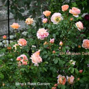 早咲きの薔薇 ER Abraham Darbyのご紹介