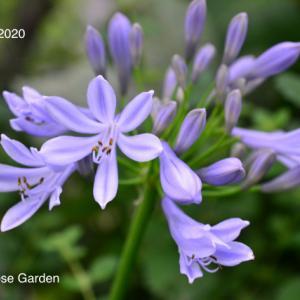 アガパンサスの開花と紫陽花アナベルその後