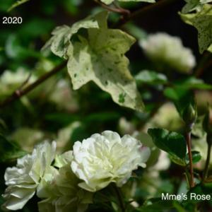 お気に入りのミニ薔薇 ー  Mini Rose Green Ice
