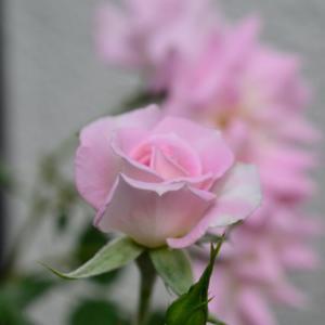 ミニ薔薇も元気に咲いておりました♡