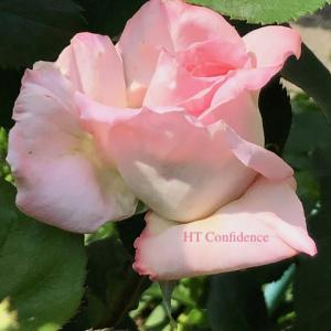 今年の春 一番先に咲いた薔薇は ー HT Confidence