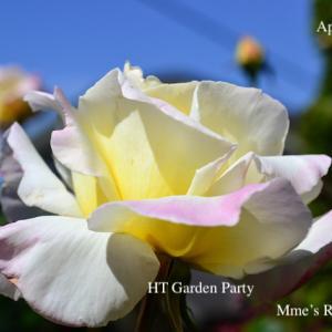 HT Garden Partyの開花