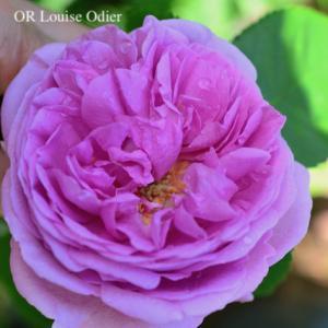 お待ちしておりましたOR Louise Odierの開花