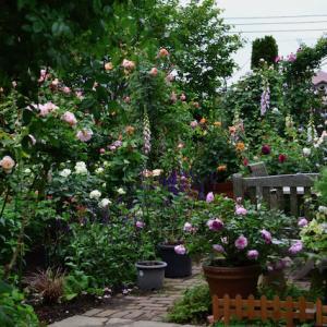 春の薔薇シーズン前半の見頃 と オープンガーデンのお知らせ