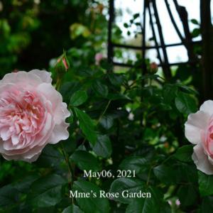 春の薔薇薔薇回想シーン2 - ER Wisley2008