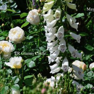 春の薔薇回想シーン7 ー イングリッシュリーズER