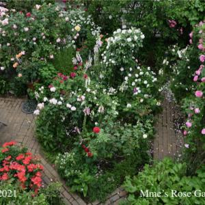 春の薔薇回想シーン8 ー Arch2 ER Gertrude Jekyll