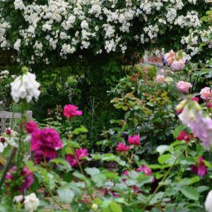 春の薔薇回想シーン11  ー  ガゼボの薔薇