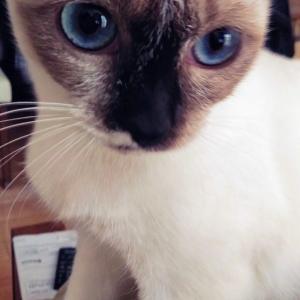 目がブルーなミャーミャー