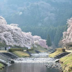2014 桜 その26 「うぐい川の朝」