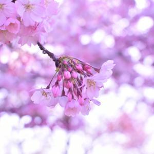 2014 桜 その24 「ちょっと大きめで」