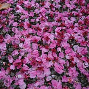 中央通りの陽光桜が、葉桜になるまで・・・3月31日。