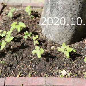 秋の朝顔日記、スタートです。その2(10/14~10/20)