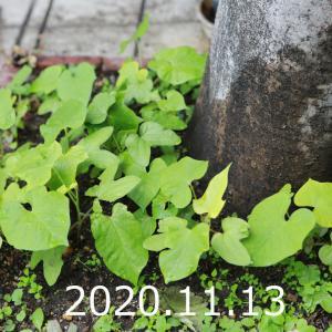 秋の朝顔日記、その5(11/11~11/21)