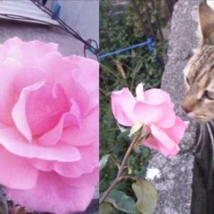 チャレンジなバラ  Floreciendo la Rosa energetica