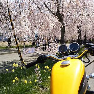 2021.04.12 日中線しだれ桜&鶴ヶ城お花見Run♪
