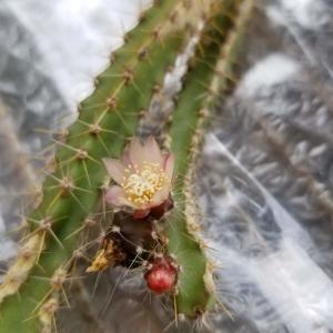 謎のサボテン:Pfeiffera ianthotheleがついに開花
