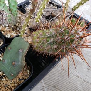オプンチア・這団扇(Opuntia humifusa) の接木の話と開花タイムラプス