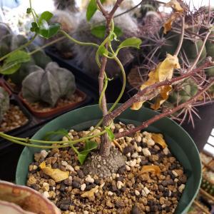 フォッケア・火星人(Fockea edulis)の蔓の回転方向の話とタイムラプス