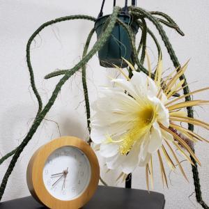 セレニケレウス・新月柱(Selenicereus hondurensis)の開花とタイムラプス