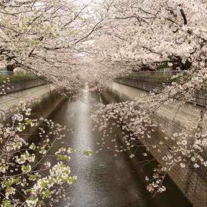 近場で早朝桜