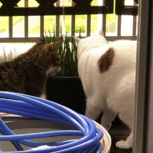 初夏の猫草。