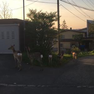 町中で鹿の群れ☆