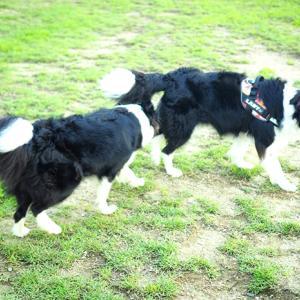 枚方 東部公園ドッグランとボーダーコリー祭り。