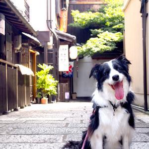 京都街歩き 清水寺界隈とボーダーコリー。