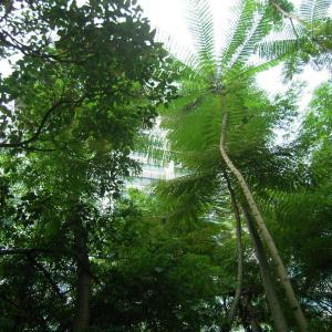 ボルネオ島へ「オランウータンに会いに行く!」…2012(9)-アーカイブス版
