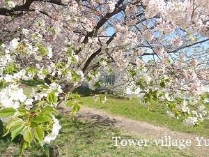 川沿いの桜を満喫!