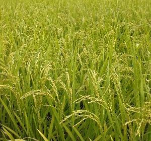 我が家の稲に異常事態