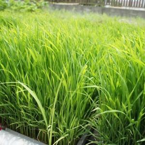 今年の米作り