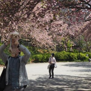 """19年4月10日(水)カーボン山の八重桜☆"""""""