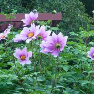 楽書き雑記「やや小柄だけど早咲きのハイブリッド皇帝ダリア=名古屋市農業センターで開花中」