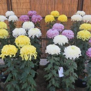 楽書き雑記「戦後まもなくスタートした名古屋城菊花大会へ」