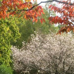 楽書き雑記「サクラとススキと紅葉と=名古屋の庄内緑地公園」