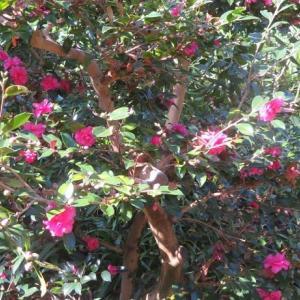 楽書き雑記「早すぎ承知で椿園も覗いてきました=名古屋・東山公園」