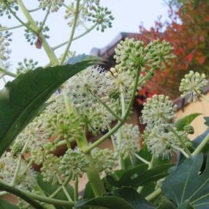 楽書き雑記「昆虫たちの冬のレストラン=庭に咲くヤツデの花」