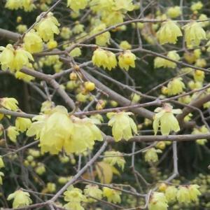 楽書き雑記「ソシンロウバイと冬咲きのクレマチス=名古屋市農業センター」